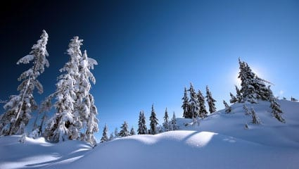 snowy field with snow-ladden evergreen trees