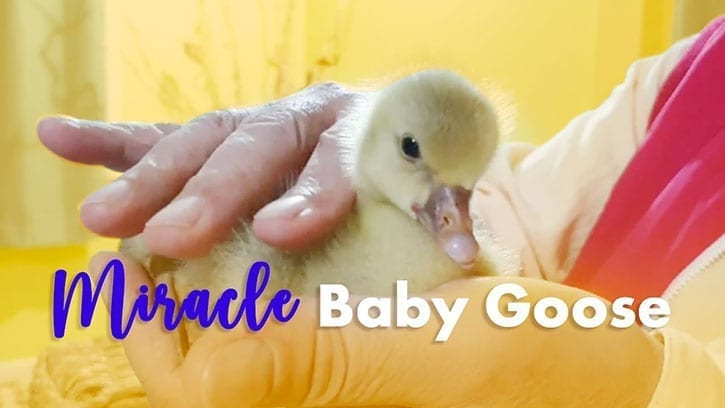 baby goose with Ilchi Lee